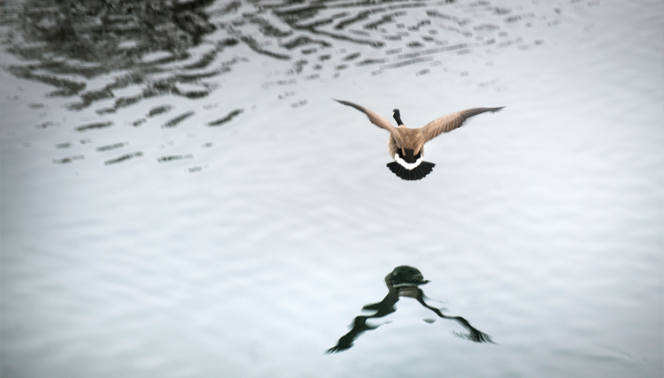 A goose flies low over the water.