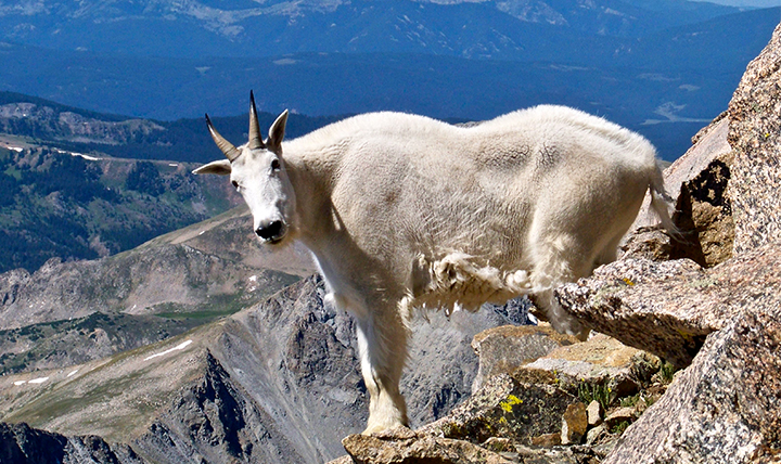 A mountain goat surveys the scene at the top of a mountain.