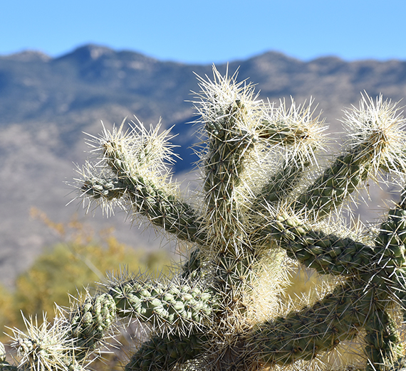 cactus in Sonoran Desert