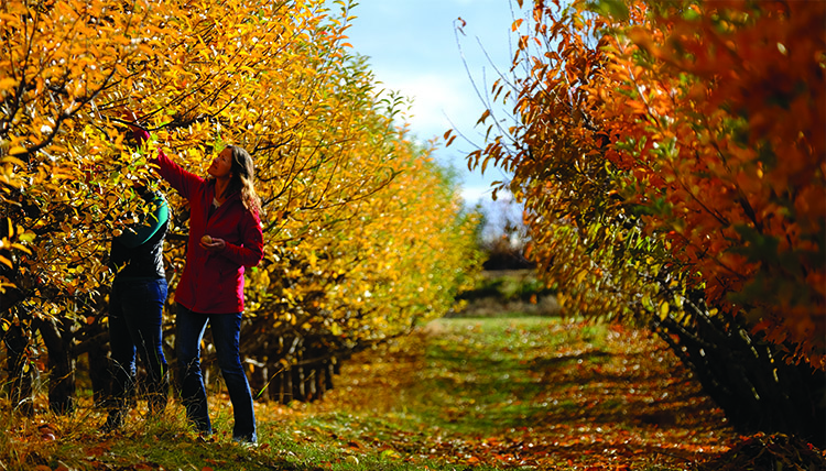 A woman reaches to pick an apple from a tree with yellow leaves in an orchard.
