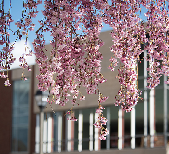 Pink cherry blossoms outside a building on a sunny day.