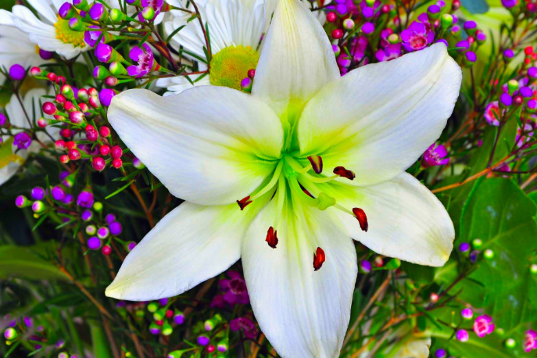 Easter lily in full bloom
